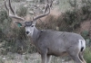 2013-mule-deer-breeder-at-3yr-gr50