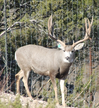 Mule Deer Breeder | Shipp Ranch