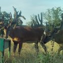 Whitetail Breeder